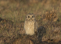Short-Eared Owl (Steve Ashton Wildlife Images) Tags: short eared owl shorteared shortearedowl raptor bird prey