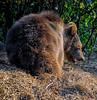 Medo (roksoslav) Tags: velebit croatia 2008 kuterevo medvjed bear nikon d80 sigma18125mm