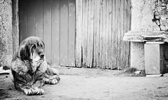 D.O.G. (ИicoW) Tags: dog chien spain europe asturias alone abandoned animal wild noiretblanc noir banc blanc nb blackandwhite black blanckandwhite bw bnw bnwmood white mono monochrome monoc monochromatic sad sadface winter fur eyes pet petanimal doglover village outdoor nikon nikond3200