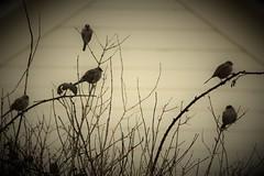 The Birds Of Winter (sarahellenspringer) Tags: 7dwf birds sundayfauna outside sepia treatment process