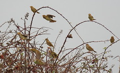 Corn Buntings (acerman17) Tags: nature wildlife flock perched flying flight bunting corn