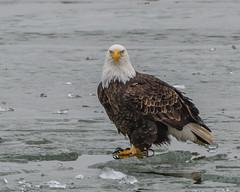Ice Fishing... (ragtops2000) Tags: eagle bald mature fishing ice migrating look stare talons nature raptor wildlife cold winter iowa lake manawa colorful portrait intense moving d500 nikon 200400