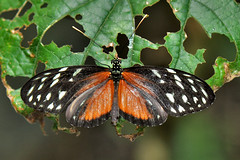 San Antonio - Hecale Longwing ♀ (Drriss & Marrionn) Tags: travel belize centralamerica cayodistrict outdoor jungle rainforest wildlife insect insects insecta butterfly butterflies macro macros animal animals colour color pattern organicpattern serene depthoffield bright lepidoptera taxonomy:trinomial=heliconiushecalezuleika taxonomy:genus=heliconius taxonomy:species=hecale taxonomy:subspecies=zuleika taxonomy:tribe=heliconiini taxonomy:subfamily=heliconiinae taxonomy:family=nymphalidae taxonomy:superfamily=papilionoidea taxonomy:infraorder=heteroneura taxonomy:suborder=glossata taxonomy:order=lepidoptera taxonomy:superorder=panorpida taxonomy:infraclass=pterygota taxonomy:subclass=dicondylia taxonomy:class=insecta taxonomy:superclass=hexapoda taxonomy:phylum=arthropoda hecalelongwing polymorphiclongwing goldenlongwing tigerlongwing heliconiushecalezuleika nymphalidae arthropoda lapassionlevel01 dnysmphotography dnysmsmugmugcom