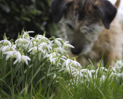 Photo Terrier`ist (Andy Gant) Tags: snowdrops snowdrop ruby terrierist terrier dogs dog maddogs flowers photo