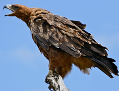 Tawny Eagle (Aquila rapax) calling (berniedup) Tags: kruger crocodilebridge tawnyeagle taxonomy:binomial=aquilarapax eagle aquilarapax bird