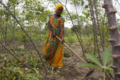 Woman works in her cassava field in Mkuranga district, Tanzania. Photo H.Holmes/RTB