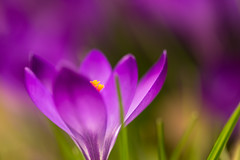 #AM Freitagsblümchen (photalena) Tags: spring garden krokus macro flower flocke purple