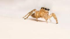 Samantha the Spider (danielledufour430) Tags: spider nature animal arachnid eightlegs whitebackground photography portrait sonya6000 crawl macro tiny