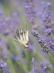 Dans son élément **---+°°°° (Titole) Tags: papillon butterfly flambé titole nicolefaton lavender lavande thechallengefactory unanimouswinner segelfalter scarceswallowtail podalirio friendlychallenges spotmetering mesurespot herowinner challengeyouwinner 15challengeswinner