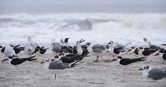 skimmer (marthalynne allen) Tags: ocean beach birds sand gulls shore blackskimmer marthalynneallen