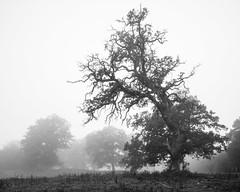 Ekhagarna IV (Gustaf_E) Tags: morning mist skne oak sweden ek sverige dis hst morgon dimma quercusrobur svedala ekhagarna