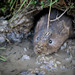 Home making the water vole way