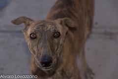 Inca de Oro (Alvaro Lovazzano) Tags: atacama desiertoflorido copiapo chile 2015 floweringdesert desierto incadeoro perro dog canne calle callejero street mirada