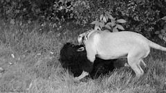 Till death do us part (Martin Werge Nissen) Tags: bw fall animal maximus canon50mm18 doguedebordeaux