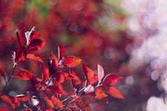 Crimson luxuriance (Paulina_77) Tags: park autumn red summer orange plant color colour detail tree fall nature colors crimson leaves closeup vintage scarlet season lens 50mm prime leaf intense blurry bush nikon focus colorful warm colours dof bright bokeh outdoor vibrant background details rich version mother vivid blurred scene illuminated depthoffield foliage mount mc german fallingleaves m42 greenery shallow colourful shrub pentacon f18 depth autumnal bubbly palette selective 50mm18 focusing 5018 d90 illimination pentacon50mmf18 bokehlicious pentacon50mm nikond90 multicoated pentacon50mm18 pola77