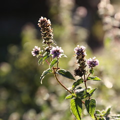 Mint in frost bokeh (liisatuulia) Tags: autumn frost bokeh mint porkkala