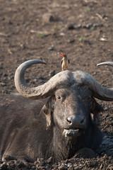 Zulu Nyala Drive 8-46 (ntisocl) Tags: vacation animals southafrica buffalo wildlife safari waterhole safaripark gamereserve wildlifepreserve 2015 redbilledoxpecker canonef70200f28lisusm zulunyala canon1dmarkiii