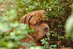 Shhh, I'm hiding (Martin Werge Nissen) Tags: fall animal dof natur overcast maximus doguedebordeaux canonef70200mmf4lisusm
