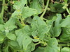 Tetragonia tetragonoides (Pall.) Kuntze -  New Zealand spinach (Peter M Greenwood) Tags: new zealand spinach tetragonia tetragonoides