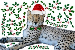 Holly Cheetah (zenseas : )) Tags: africa santa christmas holiday silly cat festive southafrica cub feline funny holidays holly card cheetah ambassador santahat christmascard acinonyxjubatus cheetahoutreach
