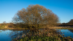 Tree in the marshes (beeveephoto) Tags: autumn sky plant reflection tree nature water grass skyline landscape belgium outdoor foliage naturereserve serene marsh 1735mmf28d viersel goldenhour flanders nohdr nikond800e nikkor1735mmf28afsdifed