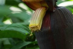 Musa acuminata var. sumatrana   (ashitaka-f) Tags: flower yellow musa musaceae