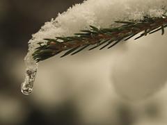 PB280320 (turbok) Tags: bäume eiskristall lärche nadel nadelbäume pflanze pflanzenmitwasser wildpflanzen c kurt krimberger