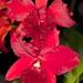Lc. Spring Fires 'Lenette #3' x Pot. Rubescence 'SVO' – Suzi Sandore