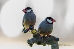 Java Sparrows (rich_downs) Tags: park beach canon hawaii java us unitedstates waikiki sparrow honolulu kapiolani 7dm2