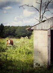 Cow (paulabarrickman) Tags: old trees brown field fauna cow shed indiana browncow linton