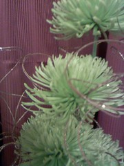 Christmas mums 04 (nanabin) Tags: christmas flowers green holidays joy sparkle celebrate tistheseason valleyofthesun