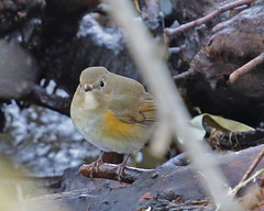 Red-flanked Bluetail (Keith Carlson) Tags: tarsigercyanurus redflankedbluetail