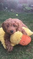 Gabby's sweet Ginger!