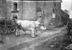 img816_2 (foundin_a_attic) Tags: mers abbeville st riquier le hourdel glass plate black white 1907 damaged slides oxyen cows cart barrles brick path road house farm arch