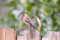 House Finch in the Rain. (LisaDiazPhotos) Tags: lisadiazphotos house finch birdwatch birdwatching bird wildlife birding backyard