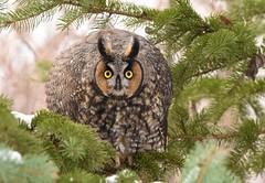 Long Eared Owl (aj4095) Tags: long eared owl owls bird birding birds nature wildlife outdoor animal ontario toronto canada