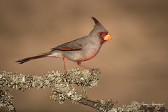 Pyrrhuloxia (raspberryridgehouse) Tags: pyrrhuloxia cardinal desert bird red grey gray wings nature outdoors beak