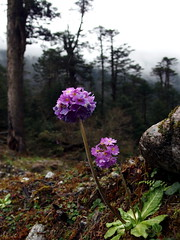 Flower (fzlxk) Tags: india sikkim northsikkim flower forest inde travel voyage asia asie travelphotography photographiedevoyage fleur mauve purple