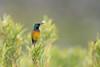 DSC_7434 (mylesm00re) Tags: m africa anthobaphesviolacea gantouwpass hottentotshollandnaturereserve nectariniidae orangebreastedsunbird oranjeborssuikerbekkie southafrica westerncape za bird