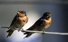 Welcome Swallow (Raikyn) Tags: bird birds swallow swallows nz newzealand hawkesbay
