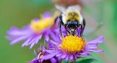 Feeding Bumblebee (imageClear) Tags: bee bumblebee insect nature feeding nectar flowers asters macro closeup color straighton aperture nikon d500 105mm imageclear flickr photostream