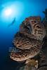 8H3A3277s (Wei on the way) Tags: salvadordali sponge underwater scuba diving diver gorontalo sulawesi indonesia tauchen canon 5d fisheye wideangle inon strobe nauticam