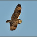 Short-eared Owl (image 1 of 4)