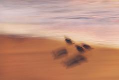 Sunrise Shuffle (Appalachian Hiker) Tags: beach sunrise abstract icm sanderling coast ocean shadow