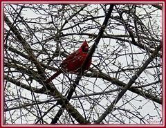January Cardinal (Harry Lipson) Tags: cardinal bird feathers red carmine cardinale crimson scarlet male feathered winged wintertime avian redbird harrylipson harrylipsoniii thephotographyofharrylipson