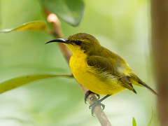 20170106-EM123873 (shutterblades) Tags: birds mandaizoo olivebackedsunbird olympusem1mkii olympusmzuiko300mmf4pro riversafari singaporezoo