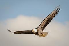 Eagle Soaring (tresed47) Tags: 2016 201610oct 20161031conowingobirds birds canon7d conowingo content eagle folder maryland peterscamera petersphotos places takenby us ngc npc