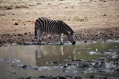 Thirsty Zebra (crafty1tutu (Ann)) Tags: travel holiday 2016 southafrica africa african animal zebra waterhole water reflections pilanesberggamepark pilanesberg wild free inthewild roamingfree crafty1tutu canon5dmkiii ef100400mmf4556lisiiusm anncameron naturethroughthelens anaturecanvas