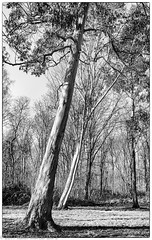 Leaning Eucalyptus (Keith (M)) Tags: woodland trees m240 westonbirt jan2017 leica arboretum wiltshire summaron 35mm