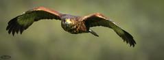 Aguila de Harris (PictureJem) Tags: aguiladeharris aves